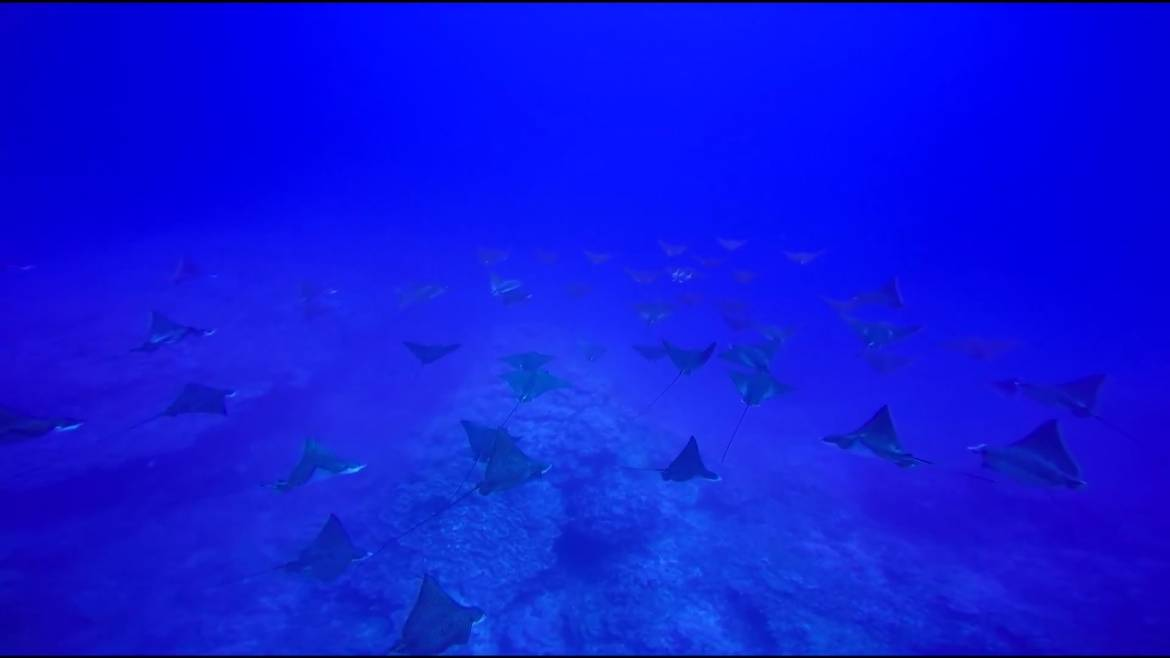 school-white-spotted-eagle-rays.jpg