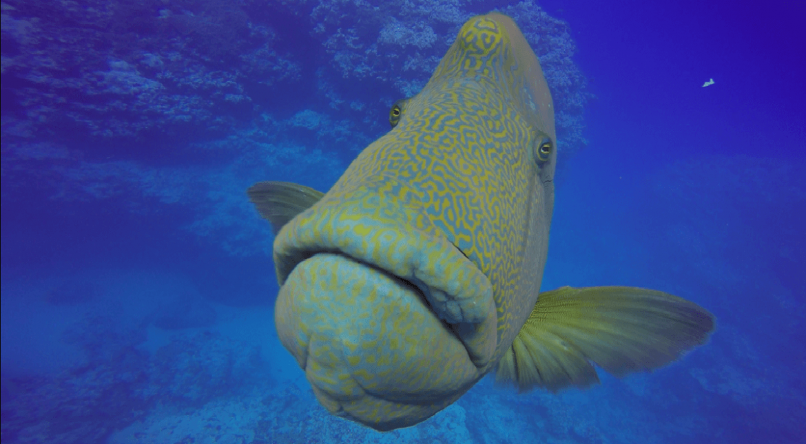 sun-napoleon-wrasse7-1.png